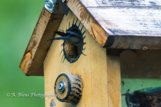 Eastern Blue Bird in a nest box-Saluda, North Carolina-93E0658-3