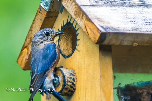 Eastern Blue Bird in a nest box-Saluda, North Carolina-93E0658