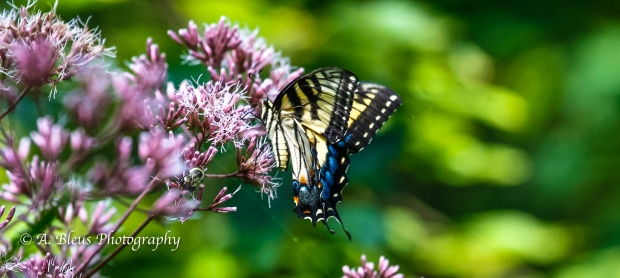 Eastern Tiger Swallowtail Butterfly- Saluda, North Carolina-93E0789-2