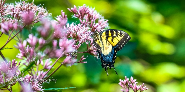 Eastern Tiger Swallowtail Butterfly- Saluda, North Carolina-93E0789-3