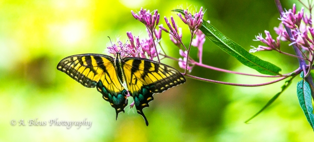 Eastern Tiger Swallowtail Butterfly- Saluda, North Carolina-93E0789-5