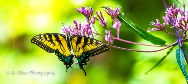 Eastern Tiger Swallowtail Butterfly- Saluda, North Carolina-93E0789-6
