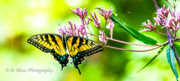 Eastern Tiger Swallowtail Butterfly- Saluda, North Carolina-93E0789-7