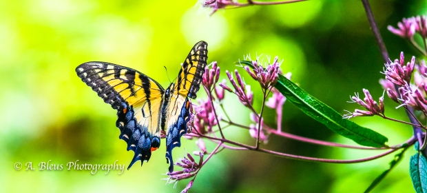 Eastern Tiger Swallowtail Butterfly- Saluda, North Carolina-93E0789-8