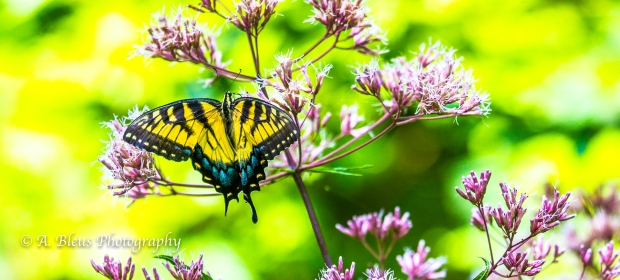 Eastern Tiger Swallowtail Butterfly- Saluda, North Carolina-93E0789-9