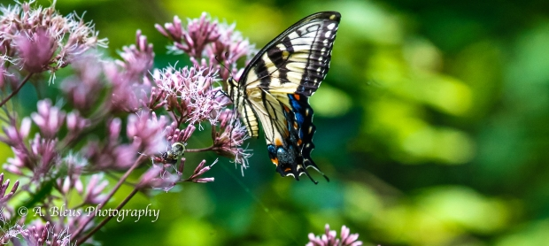 Eastern Tiger Swallowtail Butterfly- Saluda, North Carolina-93E0789