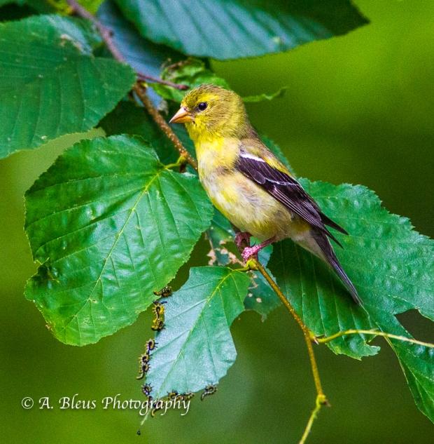 Juvenile American Goldfinch- Saluda, North Carolina, 93E0530-2