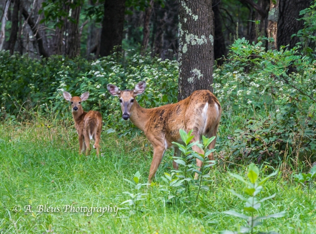 More White-tail Deer spotted, Shenandoah National Park, Virginia-93E1091-3