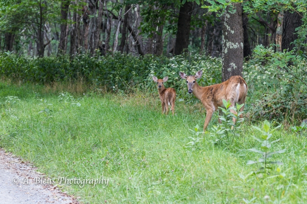 More White-tail Deer spotted, Shenandoah National Park, Virginia-93E1091-4