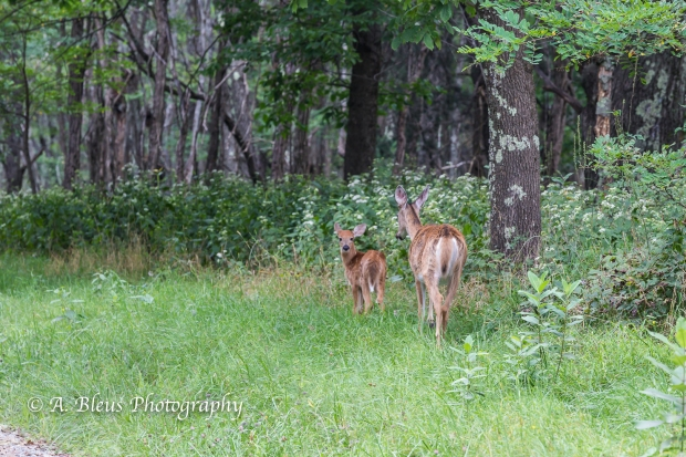 More White-tail Deer spotted, Shenandoah National Park, Virginia-93E1091-6