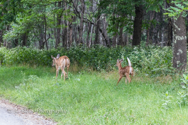 More White-tail Deer spotted, Shenandoah National Park, Virginia-93E1091-8