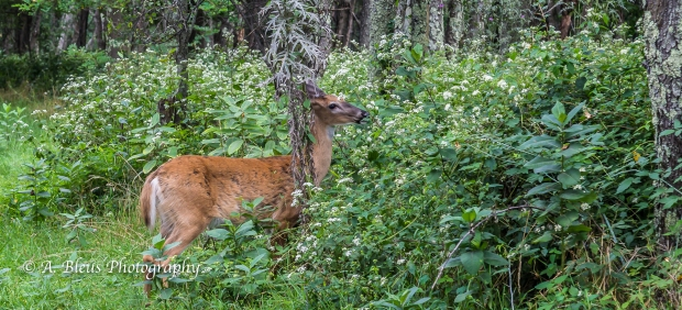 More White-tail Deer spotted, Shenandoah National Park, Virginia-93E1091