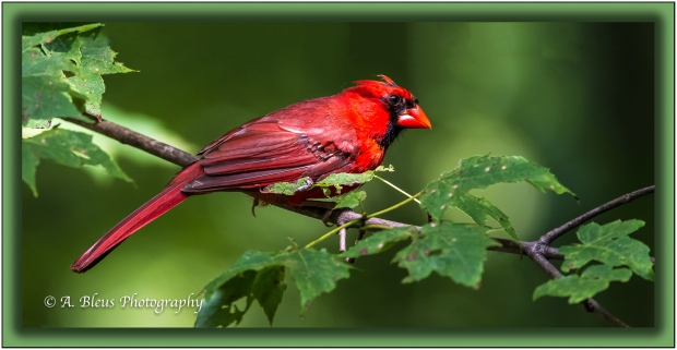 My favorite shot of a Perched Northern Cardinal_