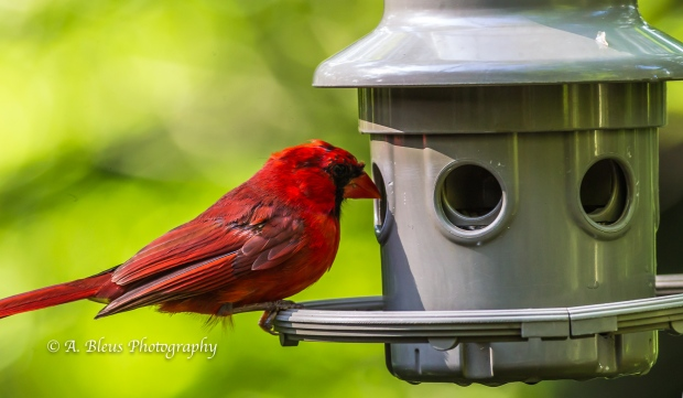 Northern Cardinal on Feeder-2