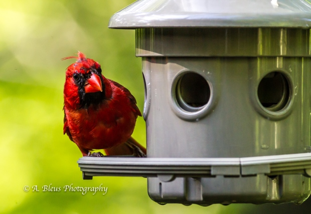 Northern Cardinal on Feeder-5