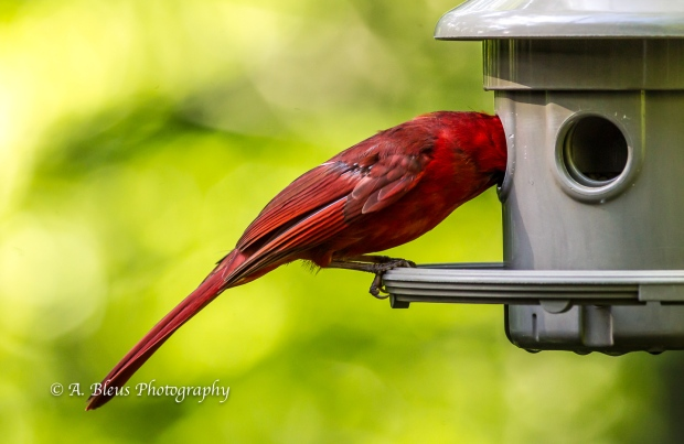 Northern Cardinal on Feeder-6