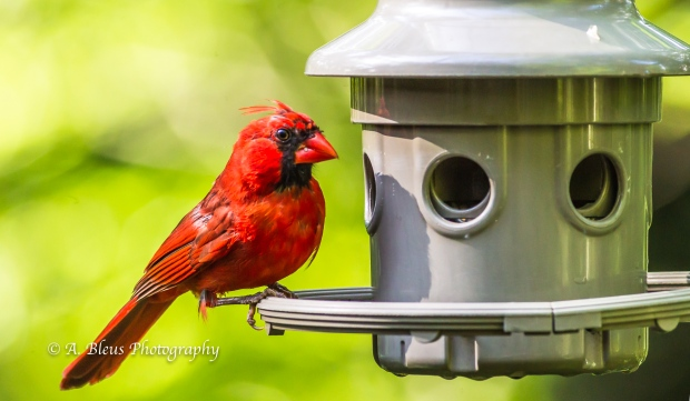 Northern Cardinal on Feeder
