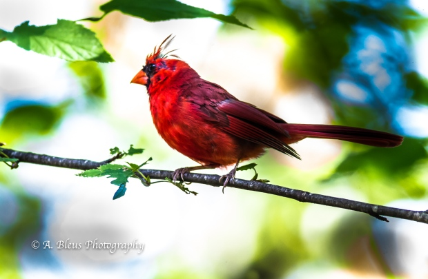 Northern Cardinal Perched-2