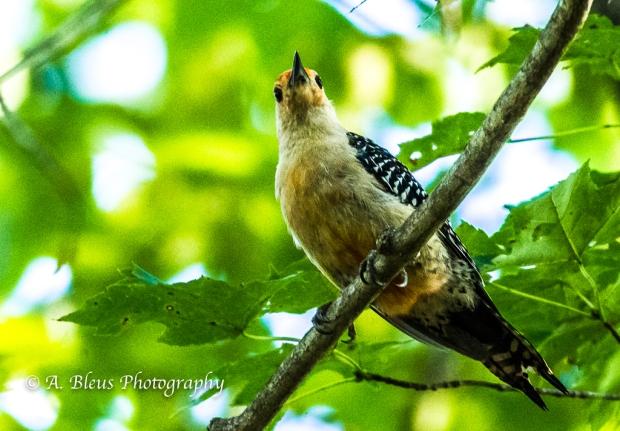Red-bellied Woodpecker -Saluda, North Carolina. 93E0726-2
