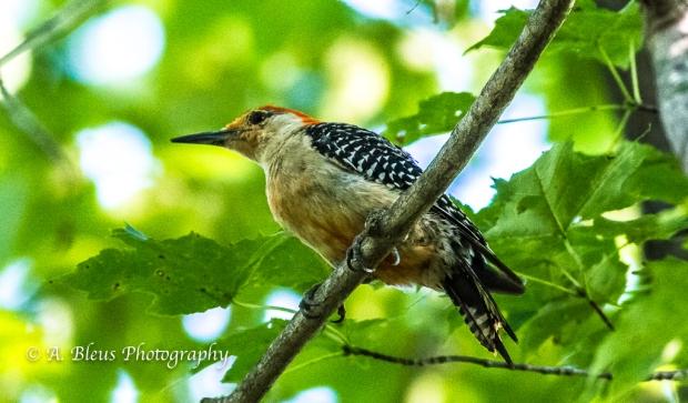 Red-bellied Woodpecker -Saluda, North Carolina. 93E0726