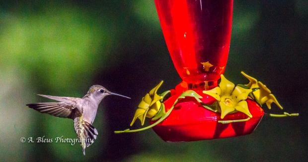 Ruby-throated Hummingbird, 93E0209-2
