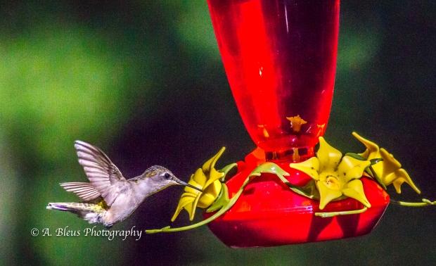Ruby-throated Hummingbird, 93E0209-3