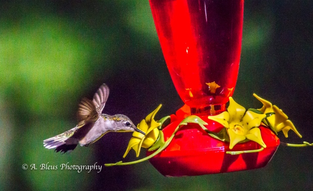 Ruby-throated Hummingbird, 93E0209-4