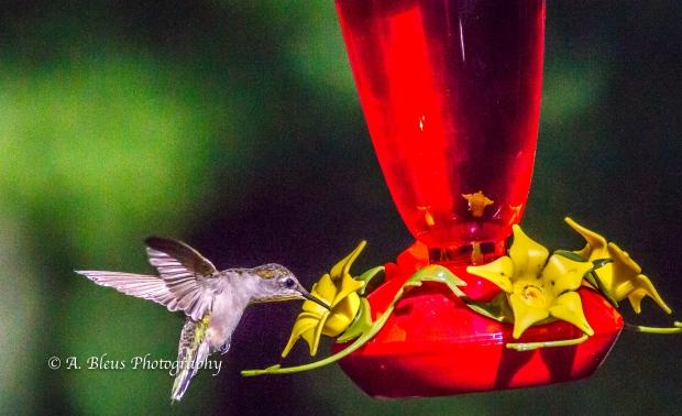 Ruby-throated Hummingbird, 93E0209-5