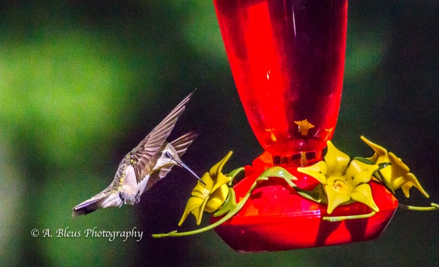 Ruby-throated Hummingbird, 93E0209-6