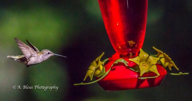 Ruby-throated Hummingbird, 93E0209