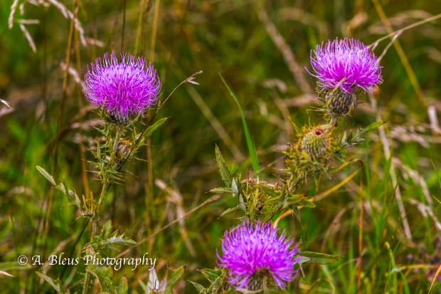 Swamp Thistle, Shenandoah National Park, Virginia-93E1132
