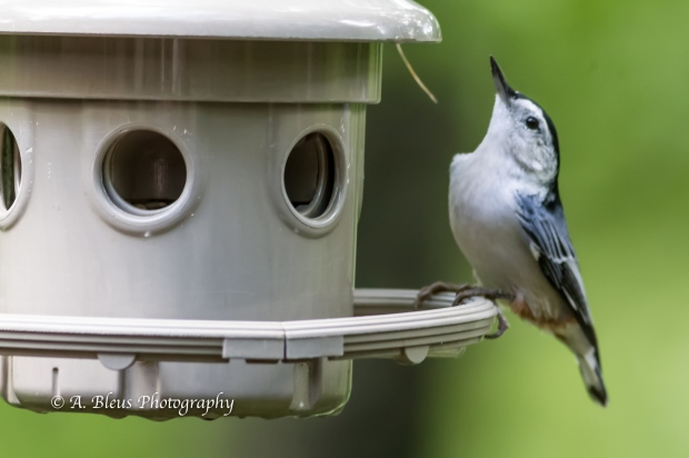 White-Breasted Nuthatch on Feeder