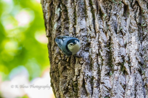 White-Breasted Nuthatch on Tree Bark-10