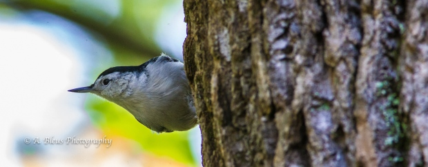 White-Breasted Nuthatch on Tree Bark-7