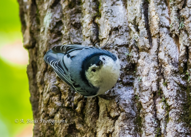 White-Breasted Nuthatch on Tree Bark-9