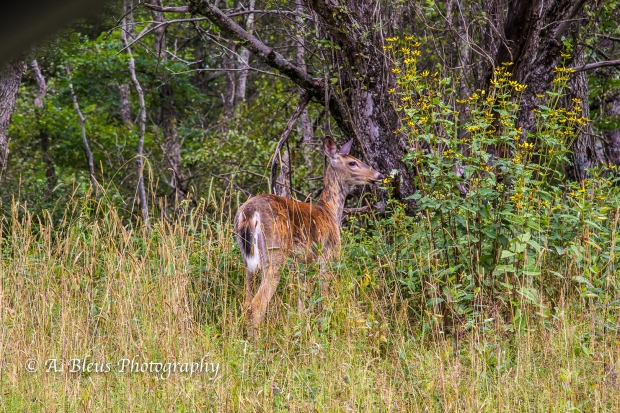 White-tail Deer spotted, Shenandoah National Park, Virginia-93E1075-4