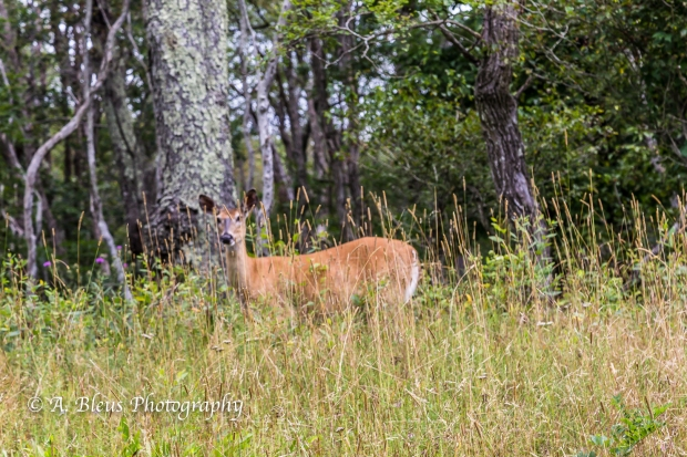 White-tail Deer spotted, Shenandoah National Park, Virginia-93E1075