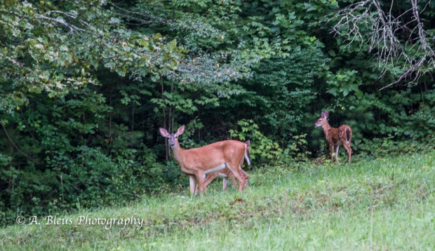 White-tailed Deer and fawns-Saluda, North Carolina-93E0700-2