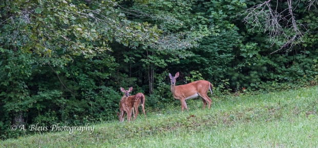 White-tailed Deer and fawns-Saluda, North Carolina-93E0700