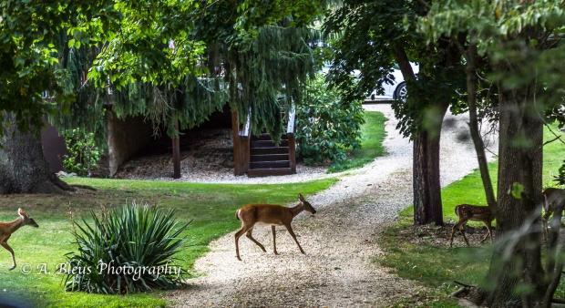 Whitetail Deer and Fawns-Waynesboro, North Carolina-93E1060-2