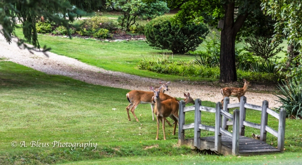 Whitetail Deer and Fawns-Waynesboro, North Carolina-93E1060