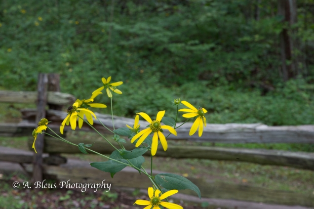 Wild Hydrangea and Yellow Coneflowers- Blue Ridge Parkway-10