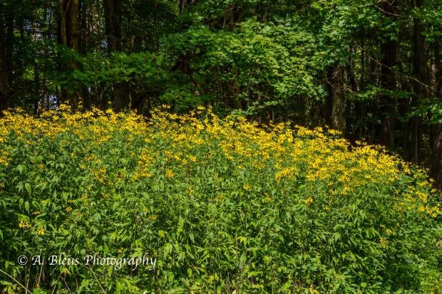 Wild Hydrangea and Yellow Coneflowers- Blue Ridge Parkway-4