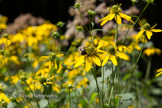 Wild Hydrangea and Yellow Coneflowers- Blue Ridge Parkway-8