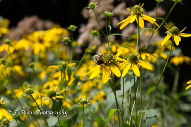 Wild Hydrangea and Yellow Coneflowers- Blue Ridge Parkway-9