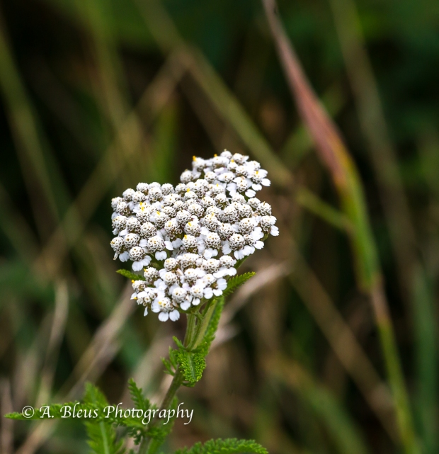 Wildflowers of Shenandoah Nat. Park-Virginia- 93E1130
