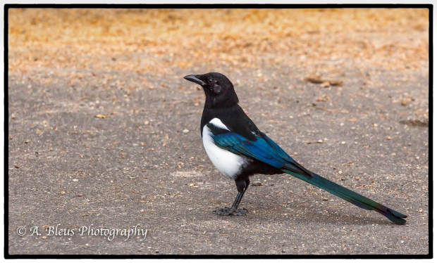 Magpie Bird Rocky Mountains Nat. Park, Colorado -93E2240