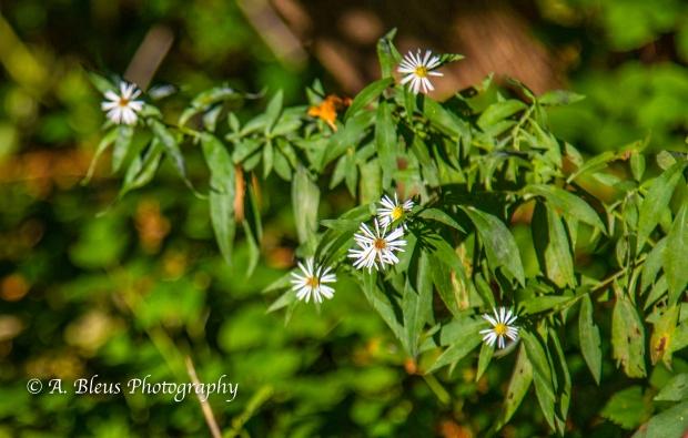 Wild Flowers- Woodstock, Vermont-1