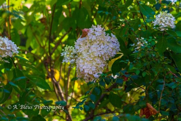 Wild Flowers- Woodstock, Vermont-3