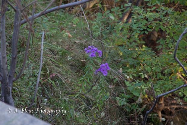 Wild Flowers- Woodstock, Vermont-4